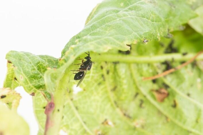 Snylteveps på kirsebærblad med kirsebærbladlus. (Foto: Erling Fløistad)