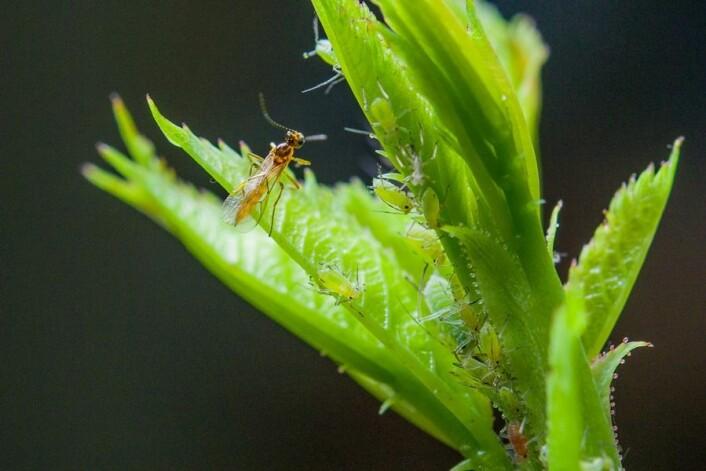 Snylteveps på rose med bladlus. (Foto: Erling Fløistad)