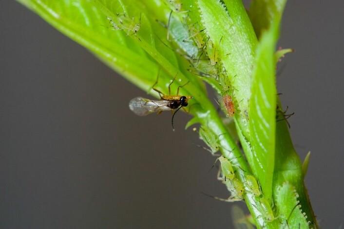 Snylteveps legger egg i rosebladlus. (Foto: Erling Fløistad)
