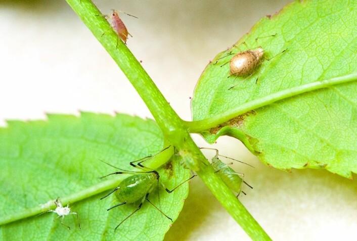 Snylteveps-parasittert rosebladlus-mumie. (Foto: Erling Fløistad)