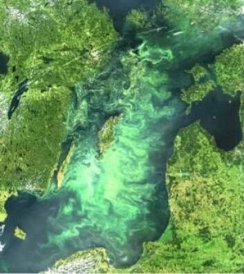 I en ny undersøkelse har forskerne brukt satellittbilder til å avgjøre hvor og når Østersjøen er dekket av de giftige blågrønnalgene. (Foto: Stockholms universitet)