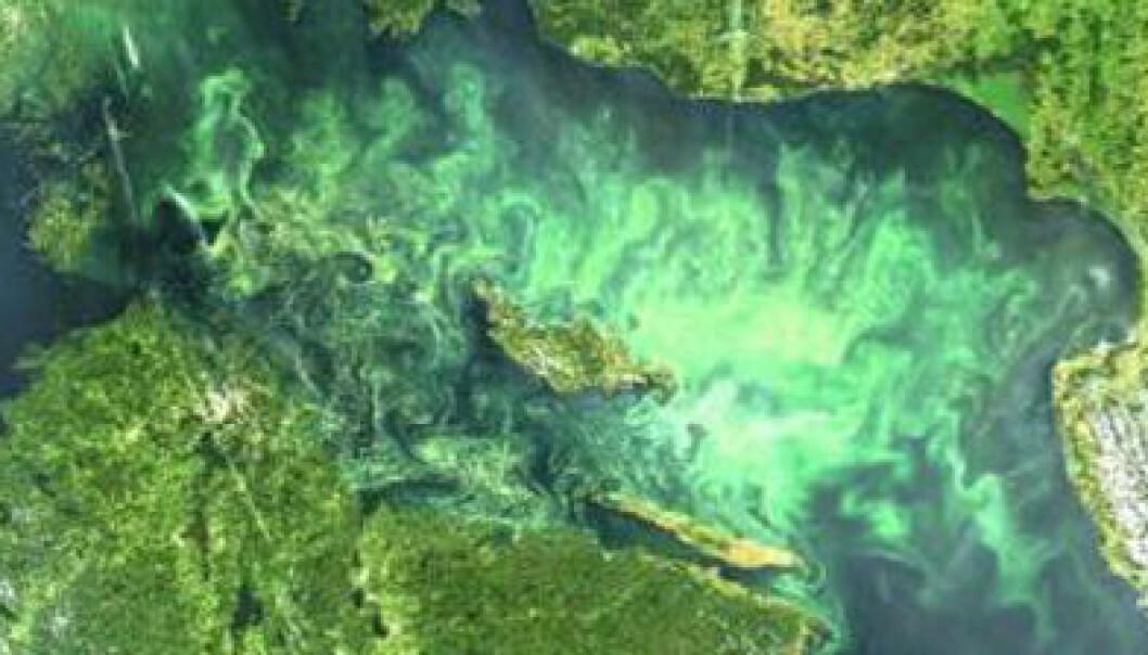 I en ny undersøkelse har forskerne brukt satellittbilder til å avgjøre hvor og når Østersjøen er dekket av de giftige blågrønnalgene. Stockholms universitet