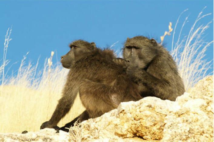 To ville chacma-bavianer er i gang med pelsstell i Namibia. I den nye studien har forskerne gjennom et halvt år gjort observasjoner av denne atferden. (Foto:Claudia Sick, Zoological Society of London)