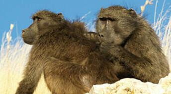 Bavianer har skjult dagsorden når de steller pels