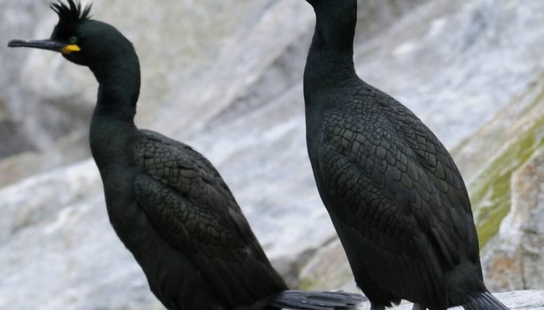Folk skremmer sjøfugler fra egg og unger