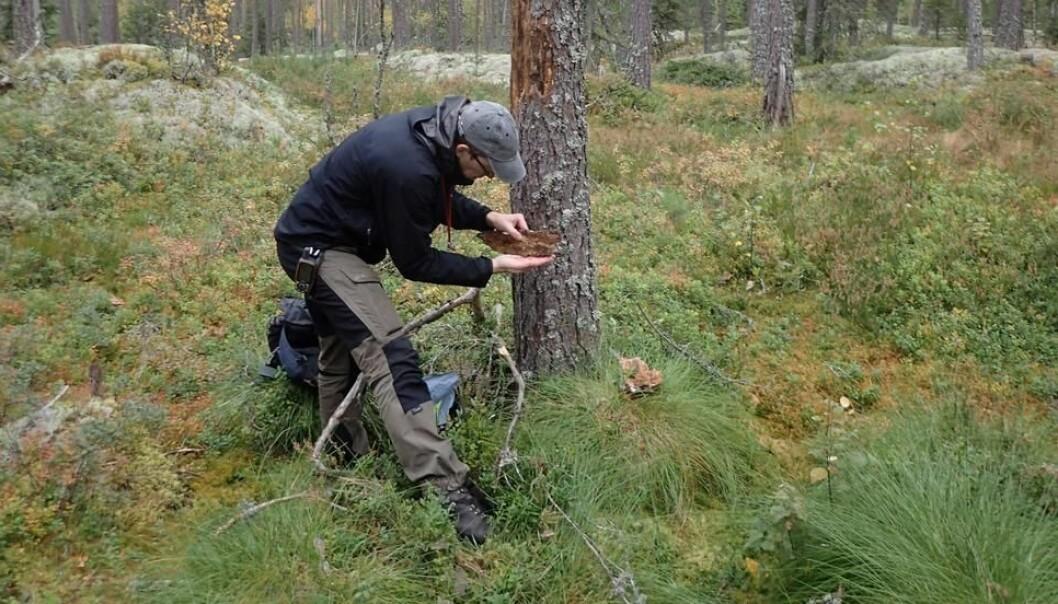 Bevaringsbiolog Stefan Olberg gjør undersøkelser i skogområdet Ramsås-Hea i Notodden, et hogstutsatt område der Olberg og Reiso fant 42 unike rødlistearter. Blant disse var en antatt utdødd bille, som ikke har vært funnet i Norge på 100 år. Foto: Sigve Reiso