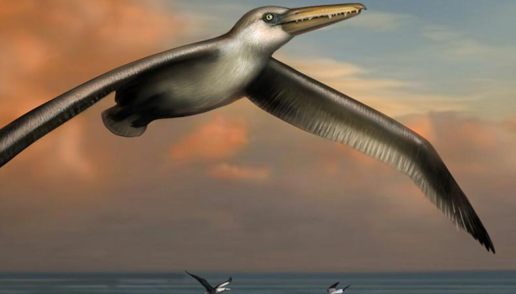 Slik kan Pelagornis sandersi ha sett ut i levende live. (Illustrasjon: Liz Bradford)