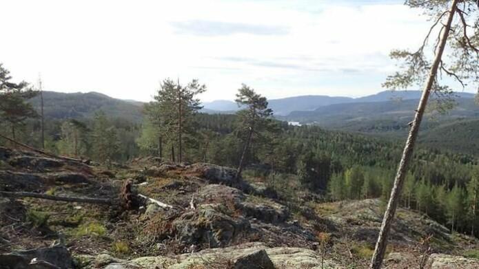 Snauhogst, slik som her i Notodden, kan gjøre tilværelsen vanskelig for mange allerede truede arter. Foto: Stefan Olberg