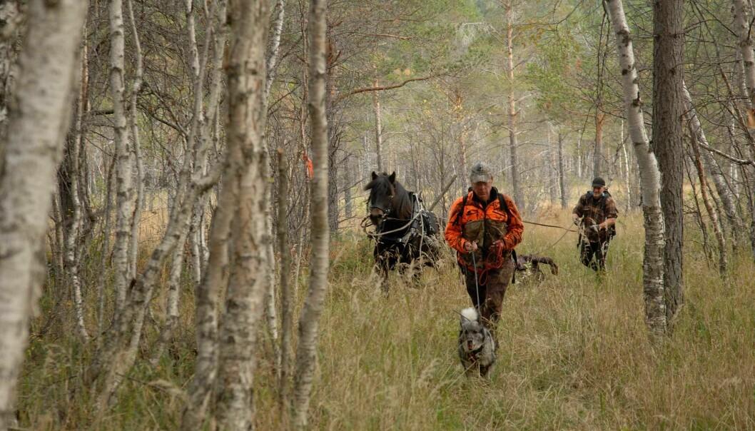 Ni av ti elger skytes med blyholdig ammunisjon. Her fraktes byttet ut av skogen ved bruk av hest. (Foto: Privat)