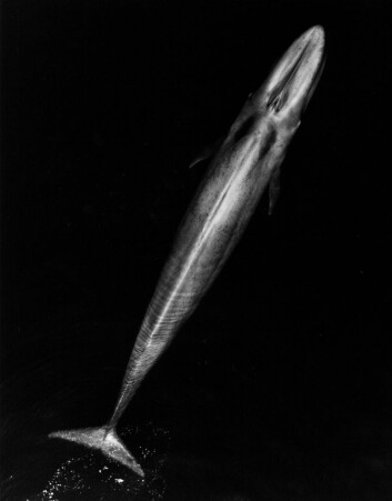 Blåhval sett fra lufta. De kan bli opptil 27 meter lange. (Illustrasjonsfoto: NOAA Fisheries)