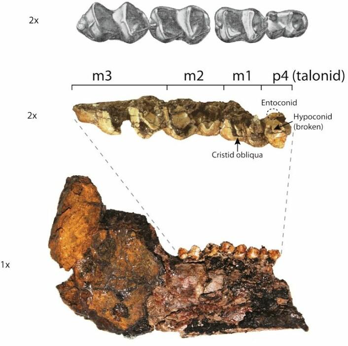 Bildet viser underkjeven og tennene til heptodonen, den forhistoriske tapiren. (foto: Eberle, Rybczynski, og Greenwood)