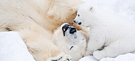 Forskningsblikk på kjøp og salg av isbjørn