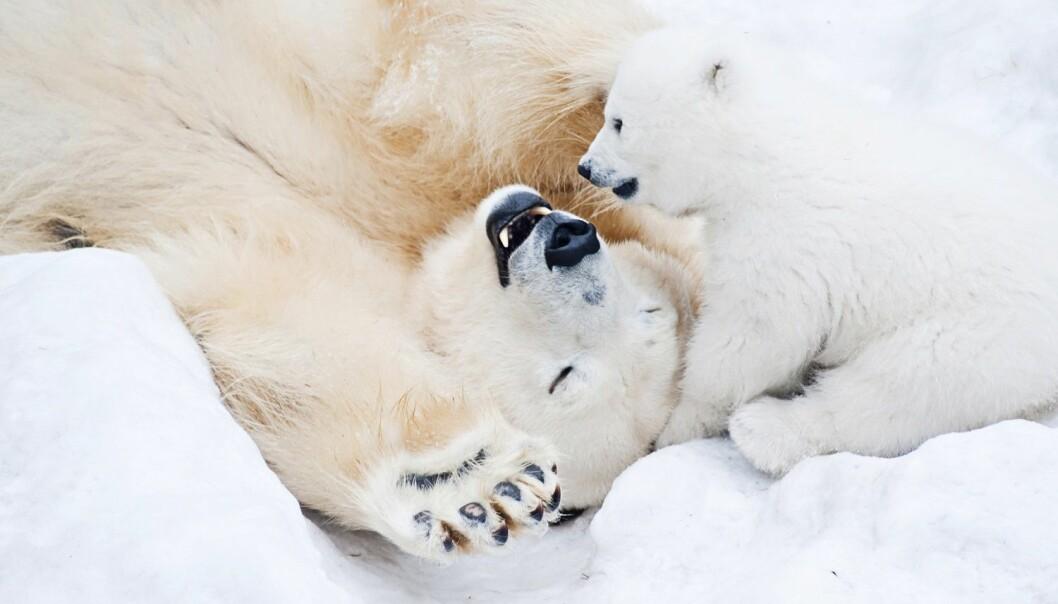 Isbjørn står på listen over arter som er sårbare for handel, og som kan bli utrydningstruet hvis det ikke skjer i regulerte former. (Illustrasjon: Lamberrto / Shutterstock / NTB scanpix)