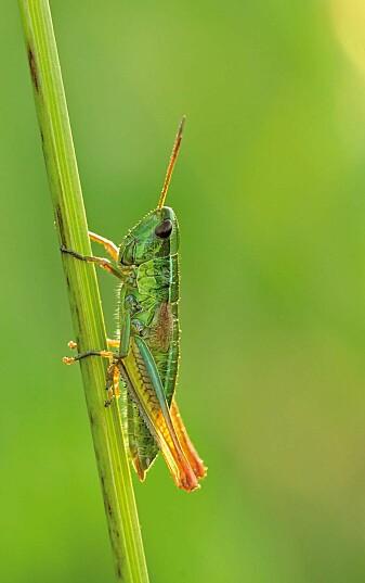 Gresshoppen Chrysochraon dispar var en av artene det er blitt mindre av i Tyskland. (Foto: Martin Fellendorf / Universität Ulm)