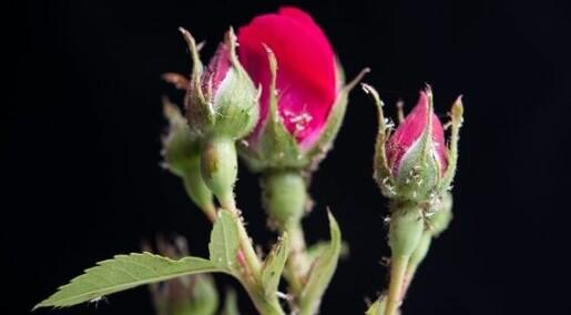 KORT OM HAGEKRYP: Gamle kjerringråd mot rosebladlus