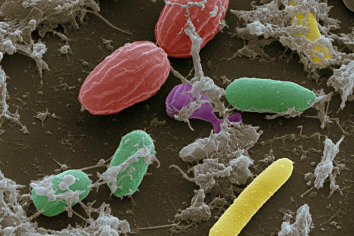 Tarmbakterier sett gjennom et skanningelektronmikroskop. (Foto: Science Photo Library)