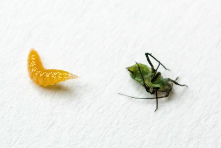 Bladlusgallmygg og bladlus. (Foto: Erling Fløistad)