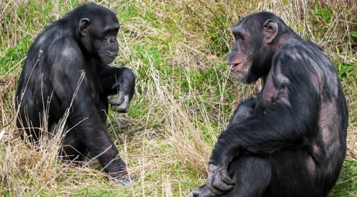 Har oversatt sjimpansespråk til menneskespråk