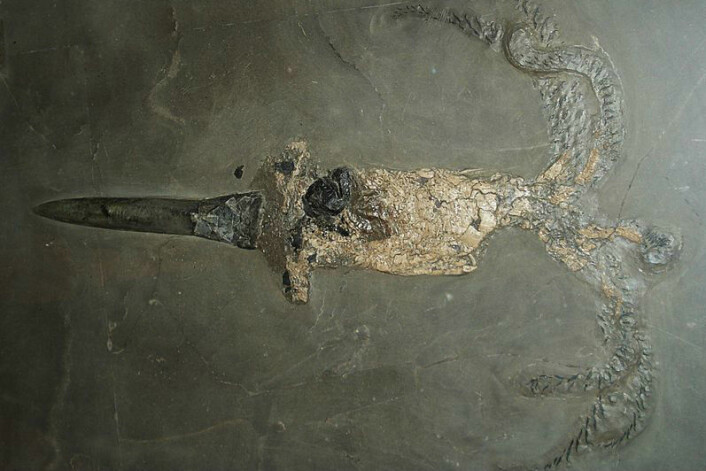 En belemnitt-fossil. (Foto: Ghedoghedo, Wikimedia Commons)