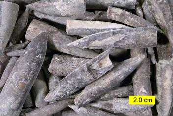 Belemnittfossiler. (Foto: Wilson44691, Wikimedia Commons)