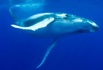 Knølhvalen var svært attraktiv for hvalfangerne, og står fortsatt på rødlista over utrydningstruede arter. (Foto: Photos.com)