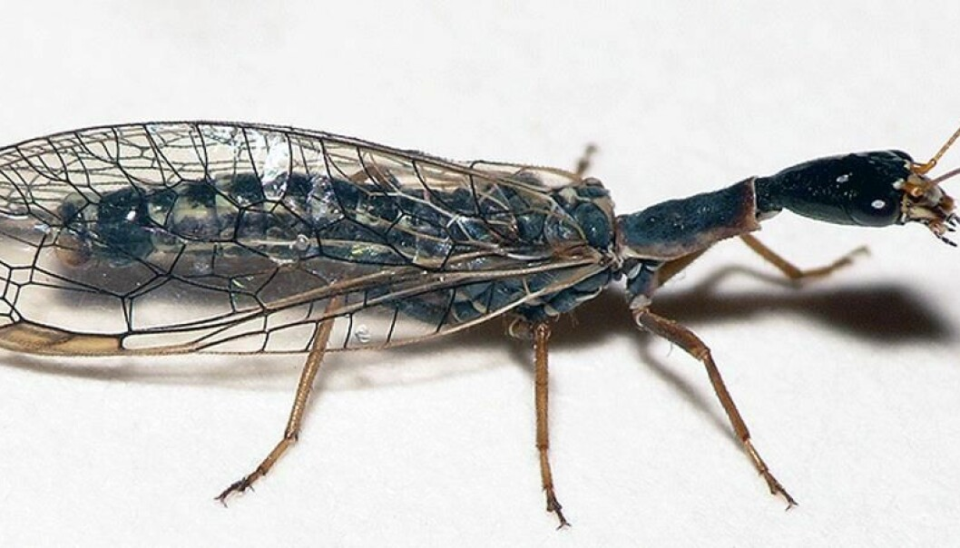 Kamelhalsfluene lever i trær og busker og jakter på insekter og larver. Dick Belgers