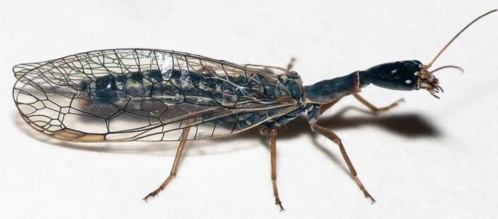 Kamelhalsfluene lever i trær og busker og jakter på insekter og larver. (Foto: Dick Belgers)