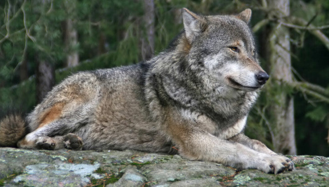 Ulven og resten av de store rovdyrene er utrydningstruet i Norge. iStockphoto