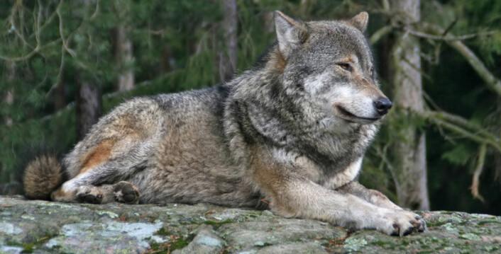 Ulven og resten av de store rovdyrene er utrydningstruet i Norge. (Foto: iStockphoto)