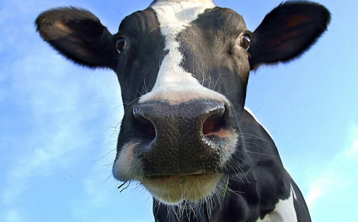 Omtrent en femtedel av de globale klimagassutslippene skyldes husdyrhold. Ny forskning viser at det gjennomsnittlige utslippet fra husdyrhold i 237 land har økt med 51 prosent i perioden 1961-2010. (Foto: Microstock)