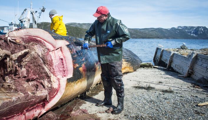 Arbeidere dissekerer en 24 meter lang blåhval som drev i land på Newfoundland i Canada. (Foto: (Illustrasjonsbilde: Greg Locke/Reuters/Scanpix))