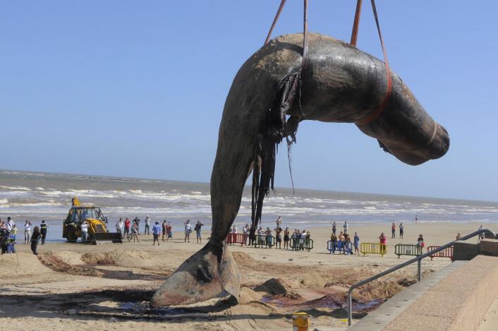 En død spermhval måtte fjernes fra en strand i Uruguay tidligere i år. Denne hvalen er ca. 16 meter lang, og vekten anslås til opp mot 25 tonn. (Foto: AP/Scanpix)