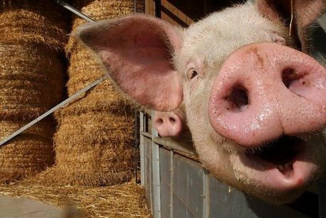 Det er om lag tolv millioner griser i Danmark. 90 prosent av kjøttet eksporteres til utlandet. Melken til suggene er svært rik på næring, så smågrisene blir raskt store i forhold til for eksempel kalver. (Foto: Colourbox)