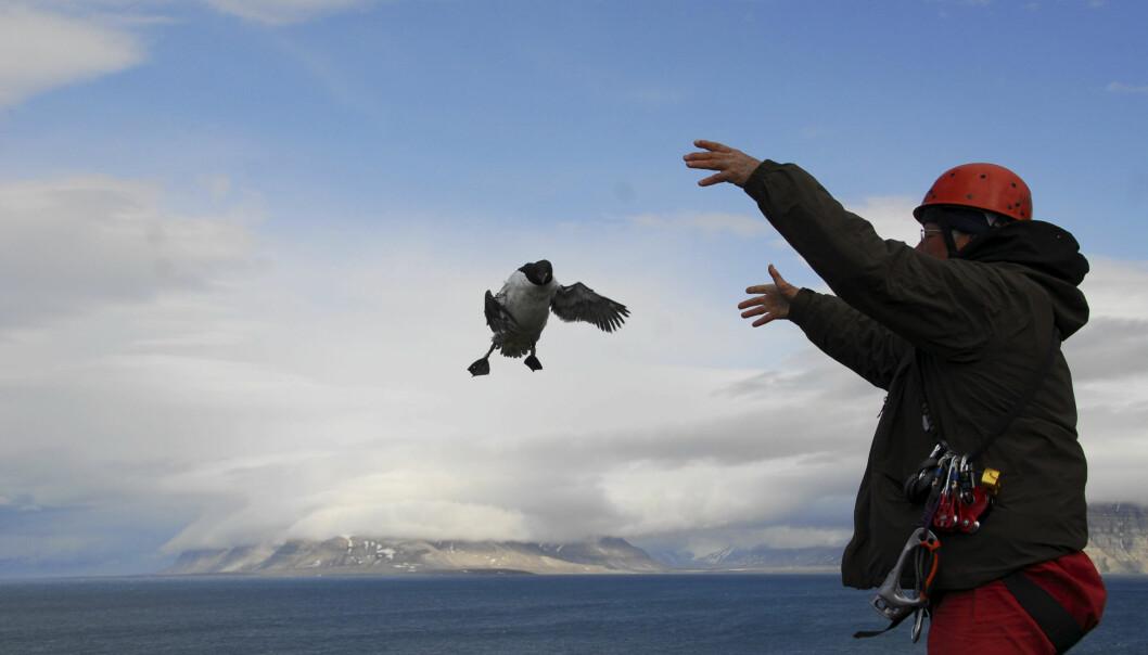 Forsker slipper løs en polarlomvi. Hos dykkende sjøfugler, som lomvi og polarlomvi, fant forskerne ingen endringer i tidspunkt for når hekkesesongen starter.