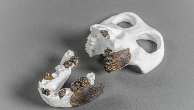 Forskernes rekonstruksjon av skallen og kjeven til den gamle apen. (Foto: Christoph Jäckle)
