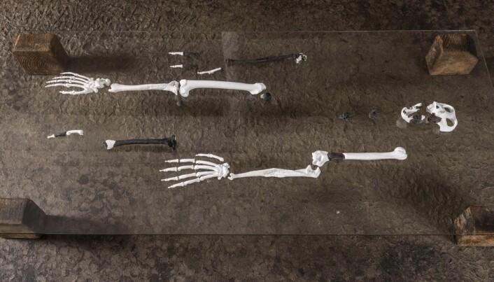 Rekonstruksjonen av fossilet. (Foto: Christoph Jäckle)