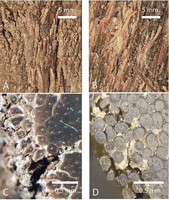 De to forskjellige hornene, ekte og falsk, sett gjennom mikroskop. A og C viser ekte neshorn, mens B og D er forskernes forfalskning.