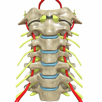 En illustrasjon av hvordan menneskets nakke ser ut. De røde ledningene er blodårer, mens de gule er nerver fra ryggvirvlene.