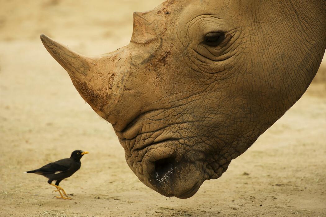 En kilo neshorn-horn kan gå for nesten en million kroner og et fullvokst horn kan veie opp mot tre kilo.