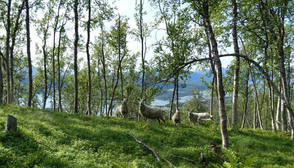 Disse sauene beiter godt i blåbærlyngen i en bjørkeskog, i Mestervik i Balsfjord.