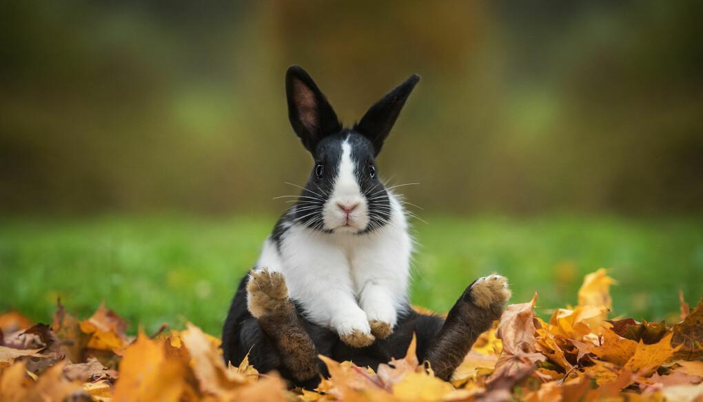 Hunn-kaniners kjønnsdrift påvirker hvor mange egg som løsner under paring. Forsker mener dette kan forklare kvinnelig orgasme.