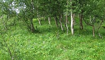 Kultivert engbjørkeskog er av de mest produktive vegetasjonstypene og finnes på næringsrikt jordsmonn som ofte har frisk fuktighet. Dette er et svært godt beite.
