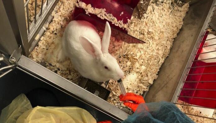 En av kaninene under forsøket.