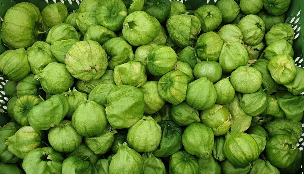Salsitas AS i Stavanger lagar meksikansk saus frå norskproduserte tomatilloer. Opphavleg er tomatillo ein gammal kulturvekst frå Mellom-Amerika.