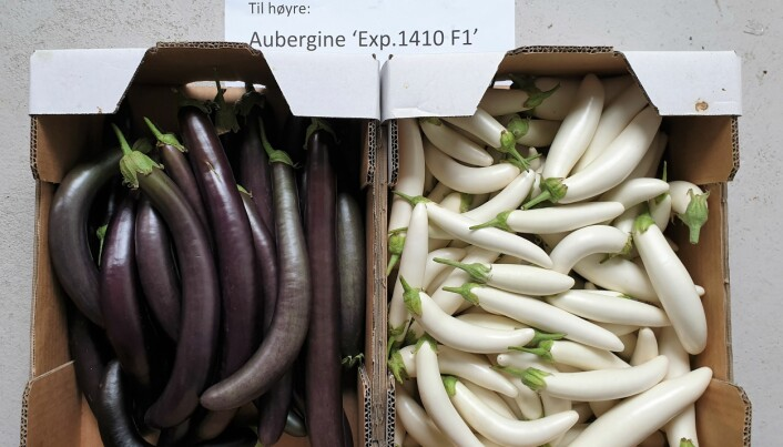 Frå andre delar av verda kan det hentast kvalitetsfrø som gir god avling av auberginar med ulik farge og form. Dette er to nye sortar: `Exp 1410 F1' (t.v.) og 'Kokila F1' (t.h.).