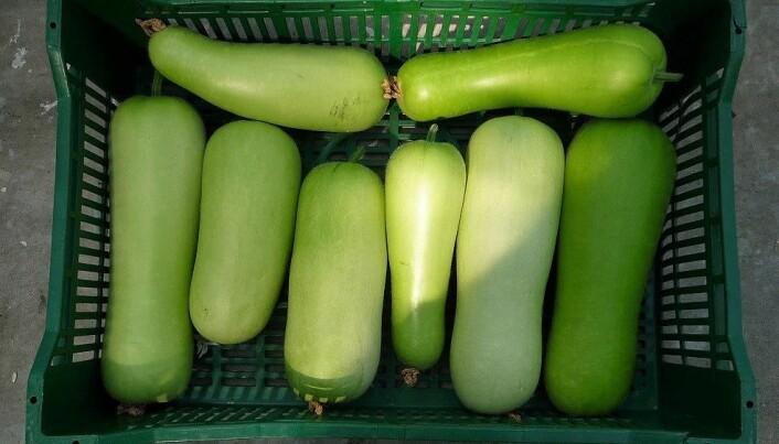 Bottle gourd (Legenaria siceraria) finst med ulike navn som flaskegresskar eller hvitblomstret kalebas. Modne frukter veg 500 til 700 gram.