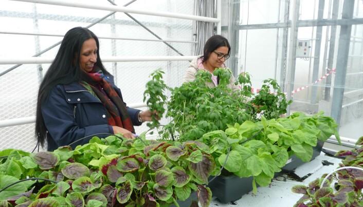 Prøveproduksjon av grønsakene Amaranthus og Fenugreek. Produksjon av eksotiske grønsaker kan bidra til god integrering trur avdelingsingeniør Geo van Leeuwen.