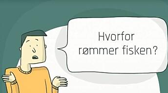 Flest fisk rømmer på grunn av hull i not