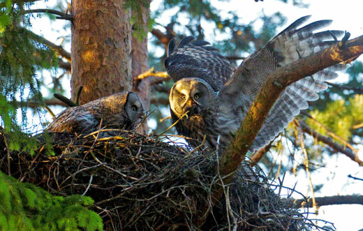Lappugla har blitt hekkefugl i Sør-Norge