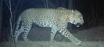 Mennesker og leoparder kan leve tett sammen